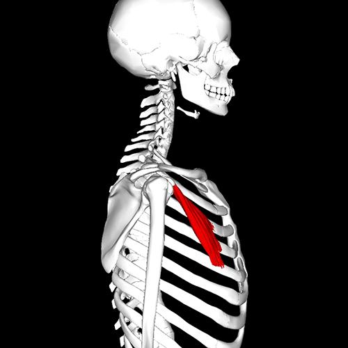 Malý sval prsní