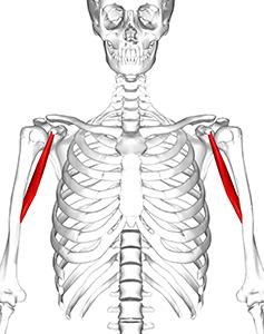 Hákový sval