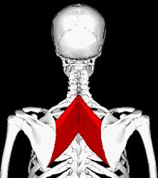 Rombické svaly