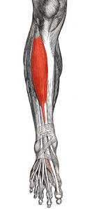 Přední sval holenní
