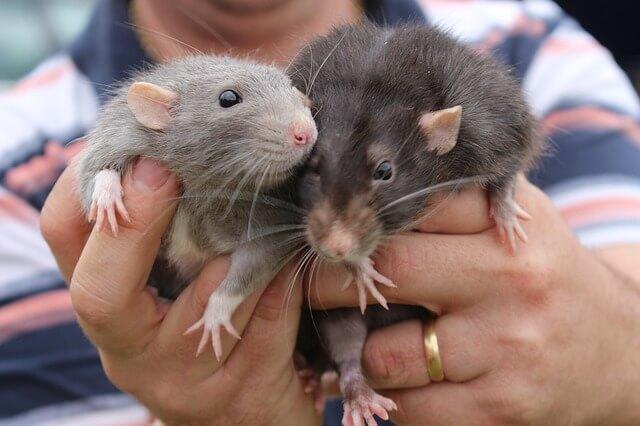 Svalnaté myši po 6 měsících