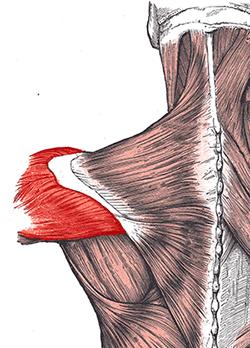 Deltový sval
