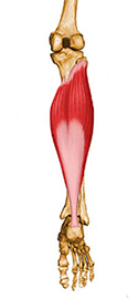 Trojhlavý sval lýtkový