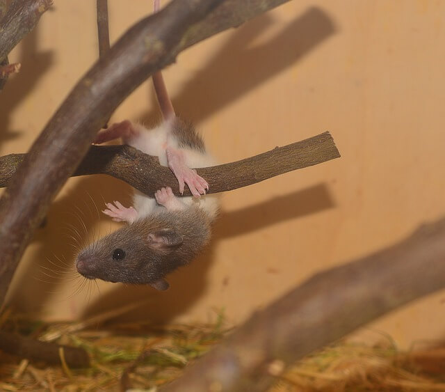 Myši na prvním tréninku