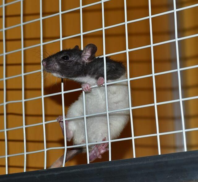 Myš při tréninku - šplhání po stěně